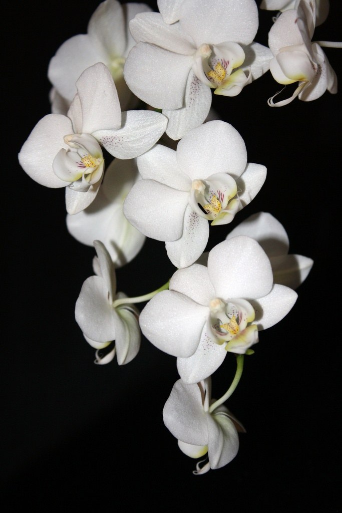Уход за орхидеей афродита в домашних условиях 799
