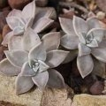 суккуленты - Граптопеталум - Graptopetalum