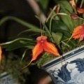 Masdevallia Copperwing